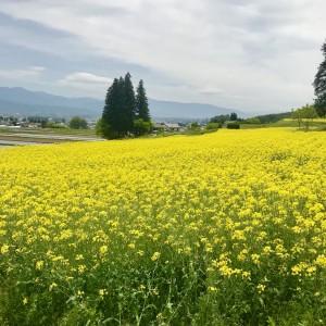 ブログ写真(菜の花)